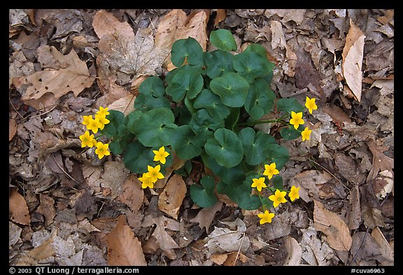 Marsh marigold (Caltha palustris) growing amidst fallen leaves. Cuyahoga Valley National Park (color)