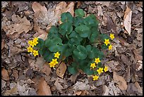 Marsh marigold (Caltha palustris) growing amidst fallen leaves. Cuyahoga Valley National Park, Ohio, USA. (color)