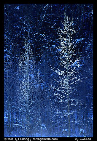 Bare trees in winter, spolighted against dark forest, Tennessee. Great Smoky Mountains National Park (color)