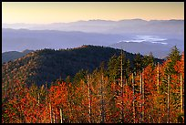 Trees in fall foliage and ridges from Clingman's dome at sunrise, North Carolina. Great Smoky Mountains National Park, USA.