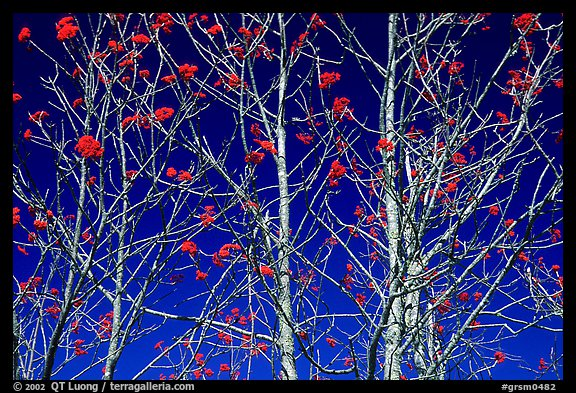 Bare trees, red Mountain Ash berries, blue sky, North Carolina. Great Smoky Mountains National Park (color)
