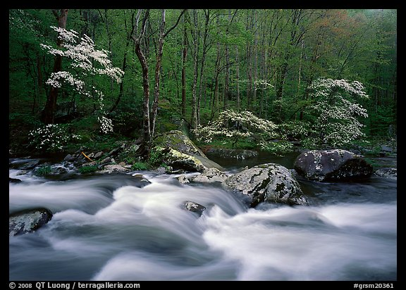 Three dogwoods with blossoms, boulders, flowing water, Middle Prong of the Little River, Tennessee. Great Smoky Mountains National Park (color)