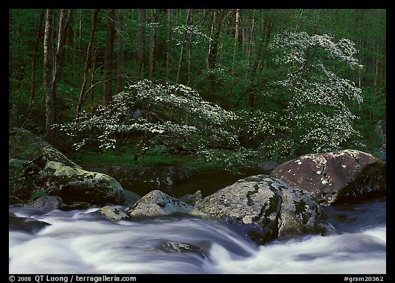 Two blooming dogwoods, boulders, flowing water, Middle Prong of the Little River, Tennessee. Great Smoky Mountains National Park (color)