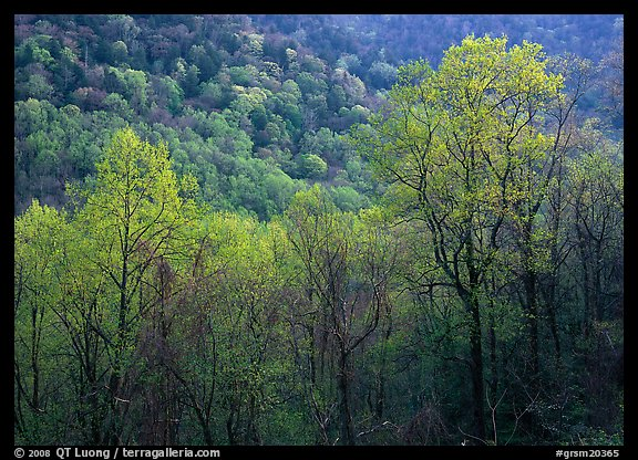 Trees and hillside with light green color of spring, late afternoon, Tennessee. Great Smoky Mountains National Park (color)
