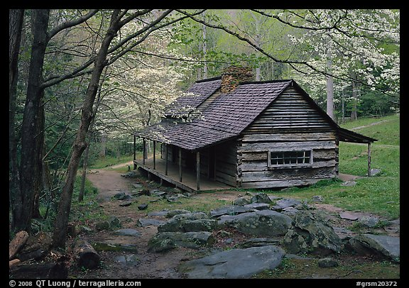 Noah Ogle historical cabin framed by blossoming dogwood tree, Tennessee. Great Smoky Mountains National Park (color)