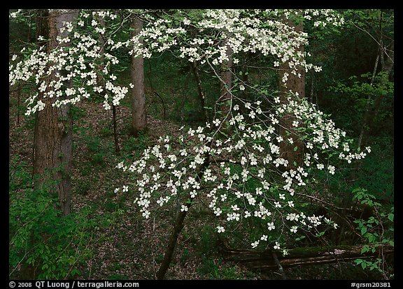 Flowering Dogwood (Cornus Florida), Tennessee. Great Smoky Mountains National Park (color)