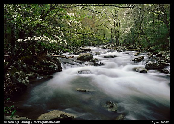 Fluid stream with  and dogwoods trees in spring, Treemont, Tennessee. Great Smoky Mountains National Park (color)