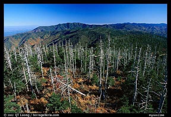 Fraser firs killed by balsam woolly adelgid insects on top of Clingman's dome, North Carolina. Great Smoky Mountains National Park (color)