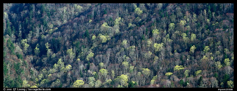 Hillside with mix of bare trees and newly leafed trees in spring. Great Smoky Mountains National Park (color)