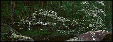 Dogwood trees blooming in forest. Great Smoky Mountains National Park, USA.