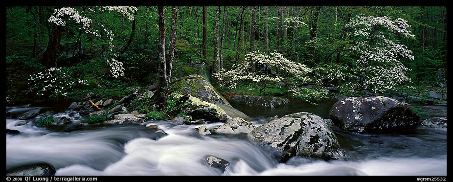 Spring forest scene with stream and dogwoods in bloom. Great Smoky Mountains National Park (color)