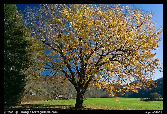 Tree in autumn foliage and meadow, Oconaluftee, North Carolina. Great Smoky Mountains National Park (color)