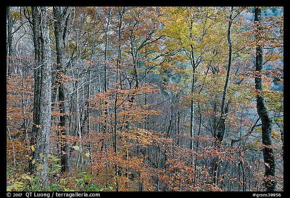 Trees in autumn colors in muted light, Balsam Mountain, North Carolina. Great Smoky Mountains National Park (color)