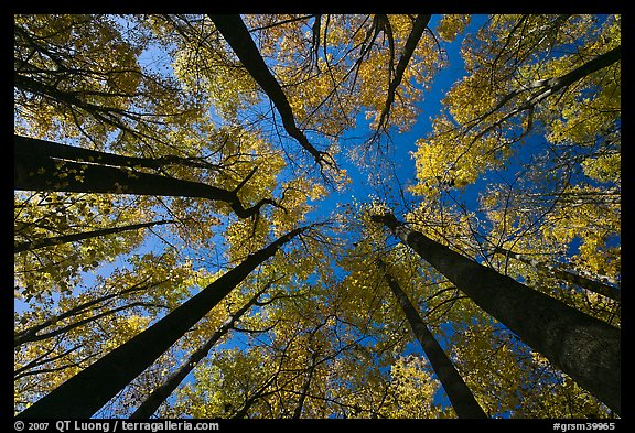 Looking up forest in fall color, Tennessee. Great Smoky Mountains National Park (color)