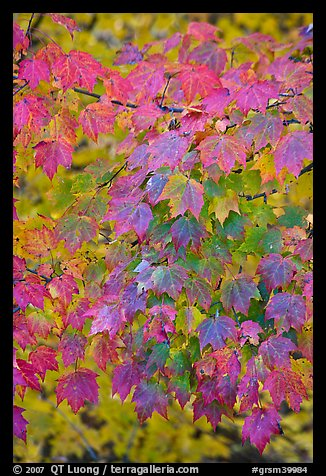 Close-up of tree leaves with autumn color, Tennessee. Great Smoky Mountains National Park (color)