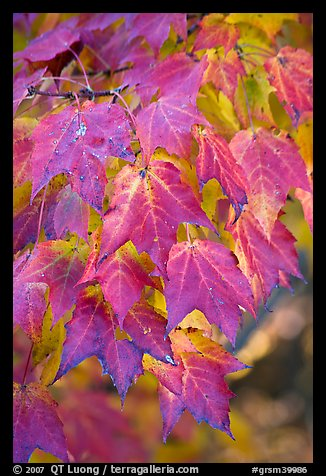 Close-up of leaves in fall color, Tennessee. Great Smoky Mountains National Park (color)