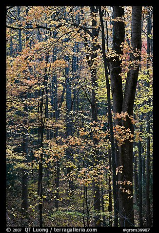 Deciduous forest in autumn, Tennessee. Great Smoky Mountains National Park (color)