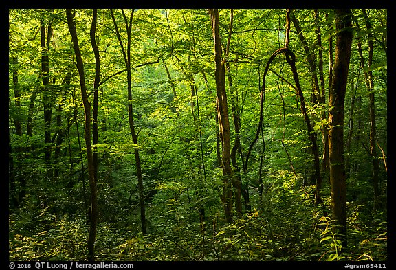 Forest with late afternoon sunlight, Elkmont, Tennessee. Great Smoky Mountains National Park (color)