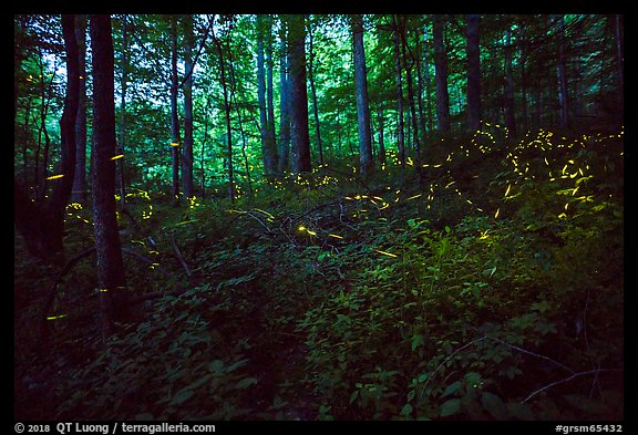 Light bugs in forest, Elkmont, Tennessee. Great Smoky Mountains National Park (color)