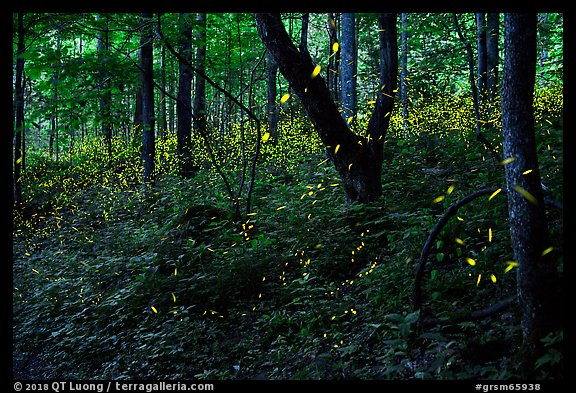 Synchronous lightning fireflies (Photinus carolinus), late evening, Elkmont, Tennessee. Great Smoky Mountains National Park (color)