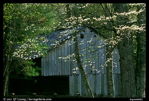 Historical barn with flowering dogwood in spring, Cades Cove, Tennessee. Great Smoky Mountains National Park (color)
