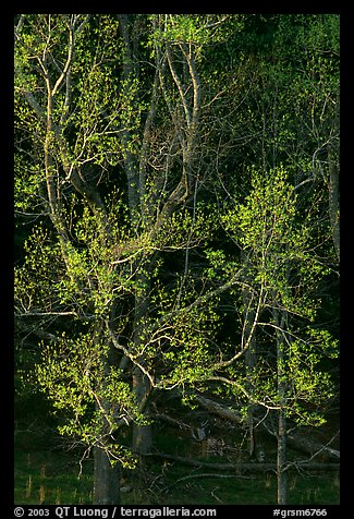 Tree in early spring foliage, Cades Cove, Tennessee. Great Smoky Mountains National Park (color)