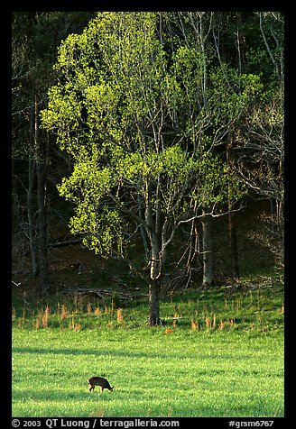 Deer in meadow and forest, Cades Cove, Tennessee. Great Smoky Mountains National Park (color)
