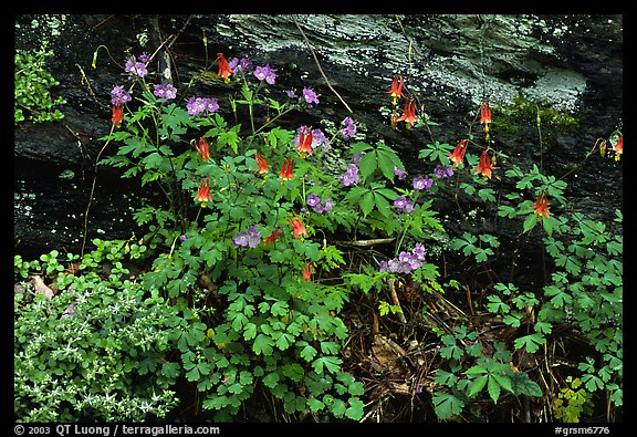 Undergrowth with Forget-me-nots and red Columbine, Tennessee. Great Smoky Mountains National Park (color)