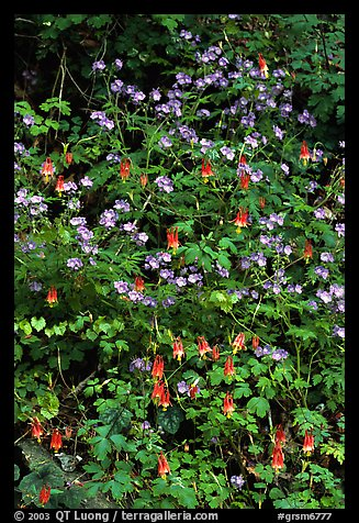Blue forget-me-nots and Red Columbine, Tennessee. Great Smoky Mountains National Park (color)