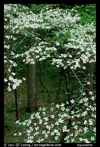 Dogwood tree with white blooms, Tennessee. Great Smoky Mountains National Park (color)