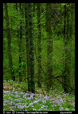 Forest with undergrowth of blue flowers, North Carolina. Great Smoky Mountains National Park (color)
