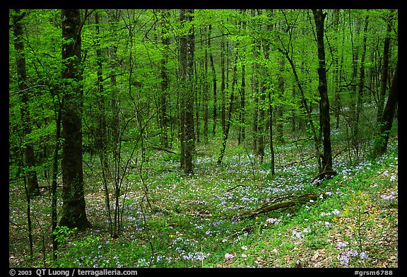 Forest in spring with wildflowers, North Carolina. Great Smoky Mountains National Park (color)