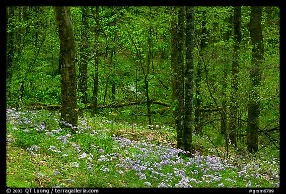 Carpet of white and blue wildflowers in spring forest, North Carolina. Great Smoky Mountains National Park (color)