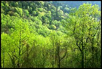 Trees and hillside with light green color of spring, late afternoon, Tennessee. Great Smoky Mountains National Park, USA.