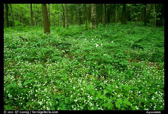 Forest floor covered with Fringed Phacelia (Phacelia fimbriata), Chimney area, Tennessee. Great Smoky Mountains National Park (color)