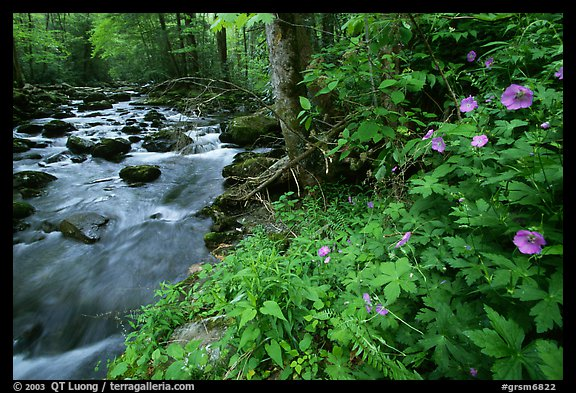 Spring Wildflowers next river flowing in forest, Greenbrier, Tennessee. Great Smoky Mountains National Park (color)
