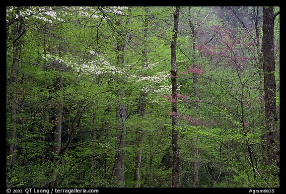 Blooming Dogwood and redbud trees in forest, Tennessee. Great Smoky Mountains National Park (color)