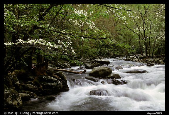 Dogwoods overhanging river with cascades, Treemont, Tennessee. Great Smoky Mountains National Park (color)