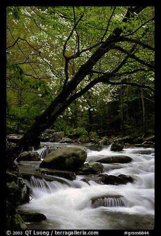 Dogwoods trees in bloom overhanging river cascades, Middle Prong of the Little River, Tennessee. Great Smoky Mountains National Park (color)