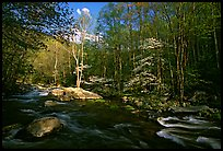 River and dogwoods, late afternoon sun, Middle Prong of the Little River, Tennessee. Great Smoky Mountains National Park, USA.