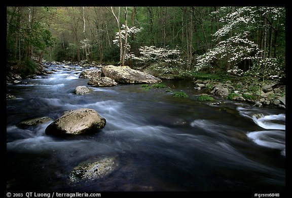 Stream and dogwoods in bloom, Middle Prong of the Little River, late afternoon, Tennessee. Great Smoky Mountains National Park, USA.