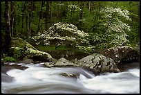 Two blooming dogwoods, boulders, flowing water, Middle Prong of the Little River, Tennessee. Great Smoky Mountains National Park, USA.