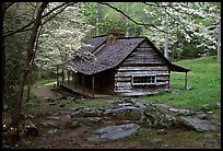Noah Ogle historical cabin framed by blossoming dogwood tree, Tennessee. Great Smoky Mountains National Park, USA.