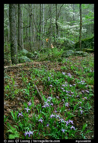 Crested Dwarf Irises in Forest, Roaring Fork, Tennessee. Great Smoky Mountains National Park (color)