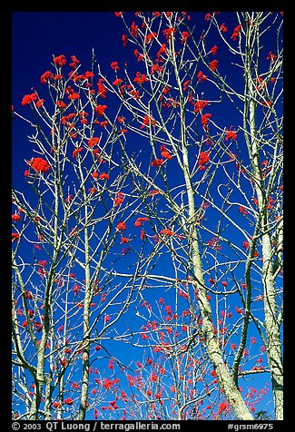 Mountain Ash berries againstblue sky, North Carolina. Great Smoky Mountains National Park (color)