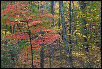 Trees in fall colors, West Mountain. Hot Springs National Park ( color)