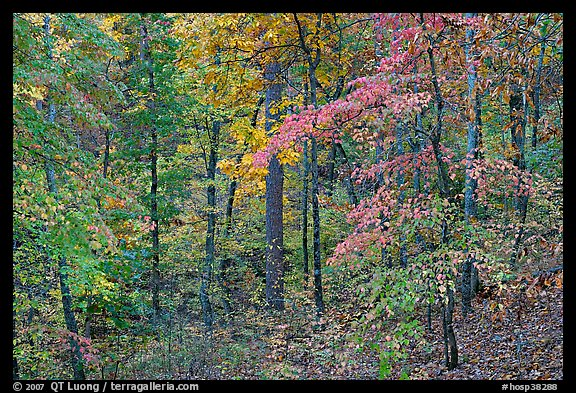Forest in fall colors, West Mountain. Hot Springs National Park (color)