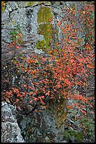 Shrub with red leaves, and moss-covered rock, Gulpha Gorge. Hot Springs National Park, Arkansas, USA.