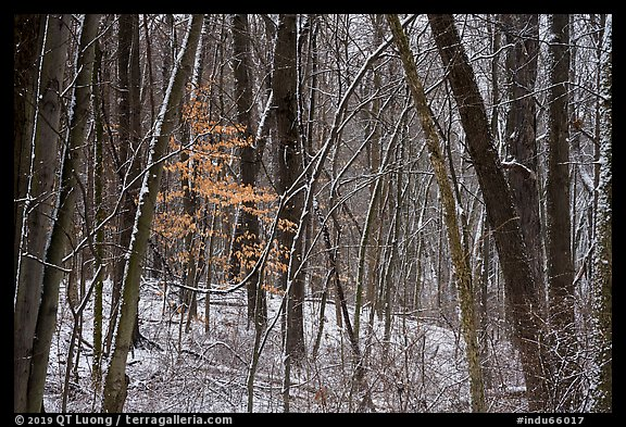 Forest in winter with fresh snow and autumn leaves, Chellberg Farm. Indiana Dunes National Park (color)