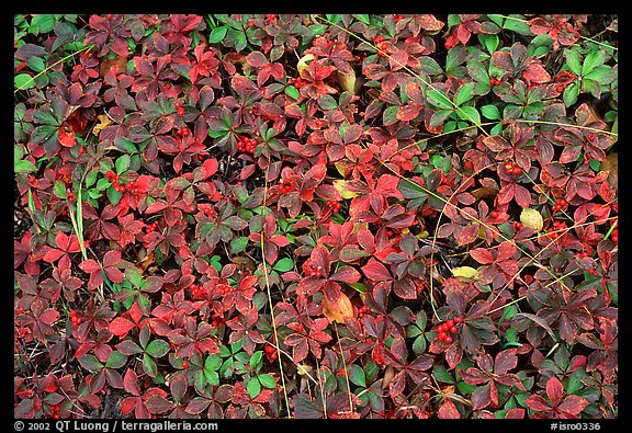 Forest floor detail with berry leaves. Isle Royale National Park (color)